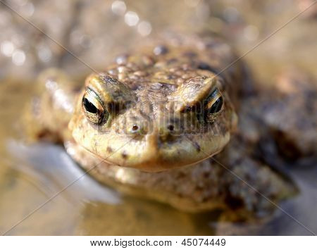 toad, Bufo bufo, in a pond