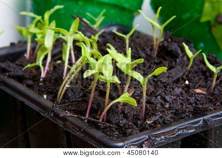 Sweetcorn Growing From Seed In Seed Trays