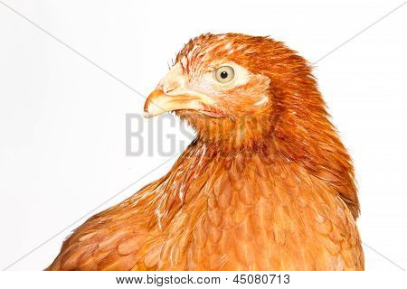 Young Pullet Looking Ahead At An Angle