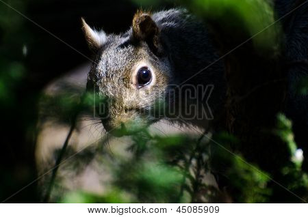 Squirrel Peering Through The Branches