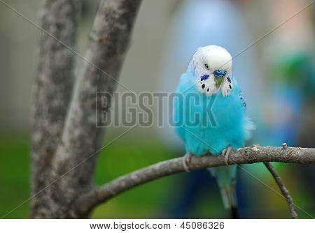 Blue Budgie Parrot Pet Bird