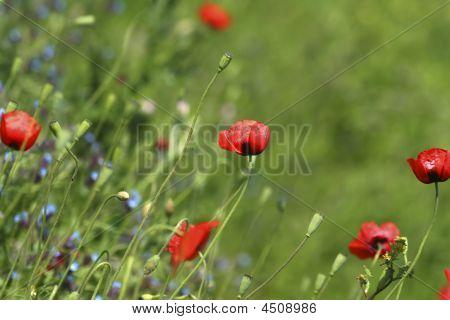 Poppy Field  Meadow  Flowers  Summer Background