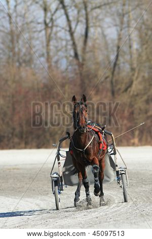 harness racing horse