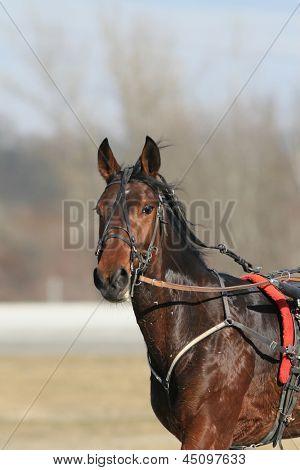 harness racing horse