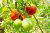 Постер, плакат: Красные и зеленые помидоры на Буша