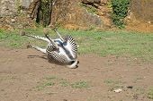 foto of shiting  - A beautiful African zebra in his natural environment - JPG