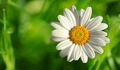 Single Beautiful White Daisy