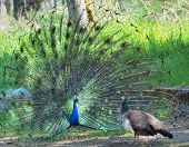 stock photo of mating animal  - Peacock courting ritual - JPG