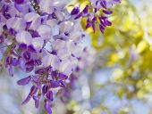 Purple wisteria flowers in spring