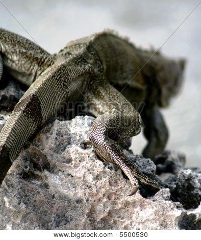 Iguana cinza