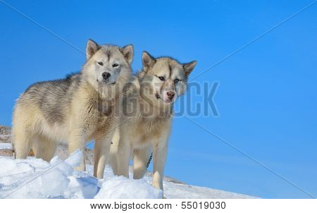 greenland dogs in winter time