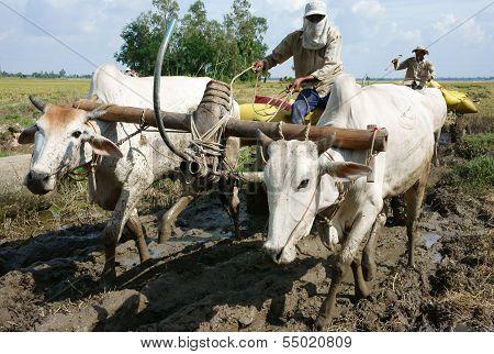 Buffalo Cart Transport Rice In Rice Sack