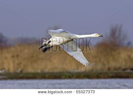 An adult Whooper Swan (Cygnus cygnus) in flight.