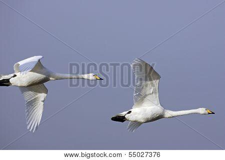 A pair of Whooper Swans(Cygnus cygnus) in flight.
