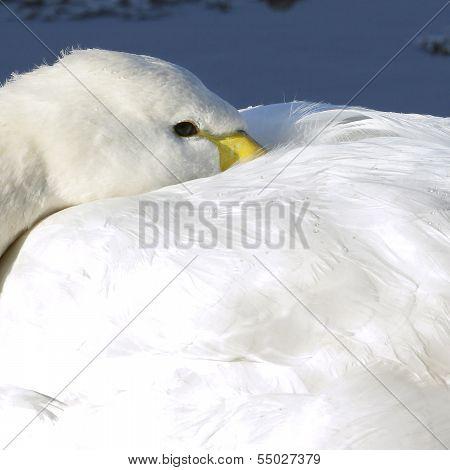 A close-up of an adult Whooper Swan (Cygnus cygnus) resting.