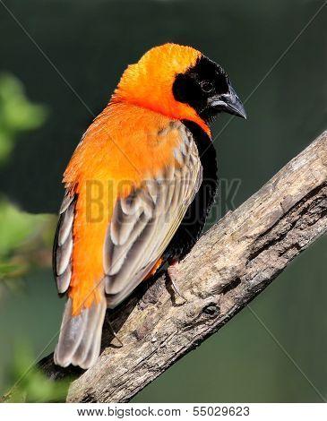 Bishop Weaver Bird