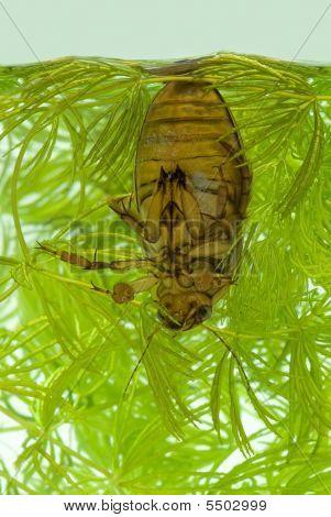Diving Käfer