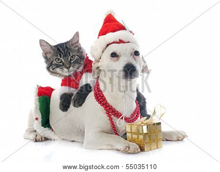 Jack Russel Terrier And Kitten