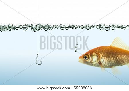 goldfish watching a hook