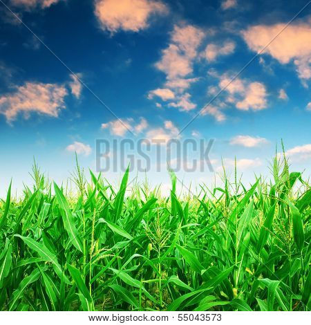 Green corn field under colorful sky.