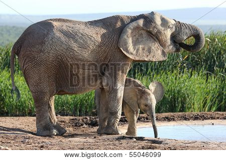 African Elephant Calf And Mother