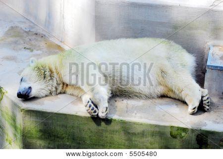 Beautiful Curious Large Polar Bears Sleep Ion The Stone
