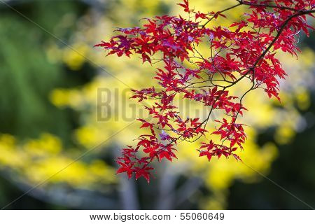 Japanese Maple Tree On A Colorful Fall Day