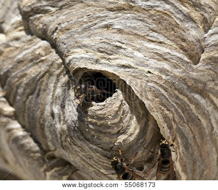 Wasp around its nest, hornet's nest.