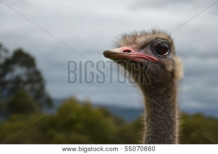 Ostrich Looking Left