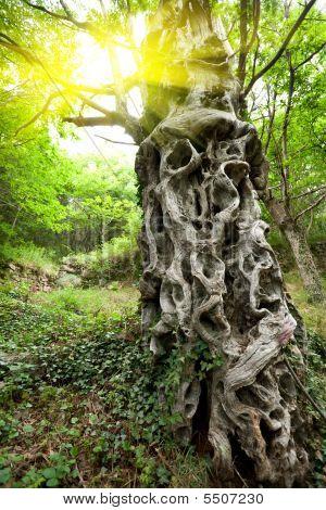 Sweet Chestnut Tree Trunk