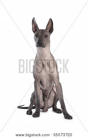 Xoloitzcuintle Dog Sitting, White Background
