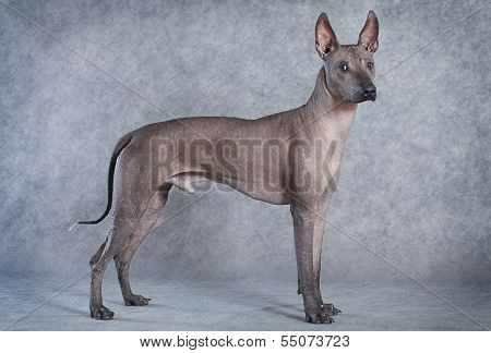 Xoloitzcuintle Dog, Eighteen Months Old