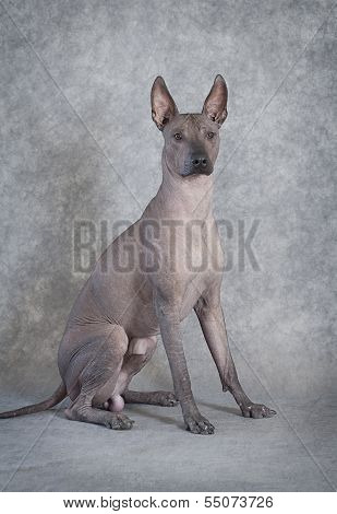 Xoloitzcuintle Male Dog, Eighteen Months Old, Grey Background