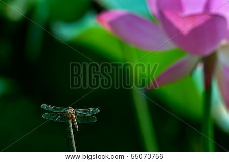 dragonfly stop on stick and background ist lotus and lotus leaves