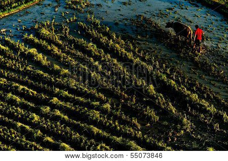 ploughed rice field trough cattle