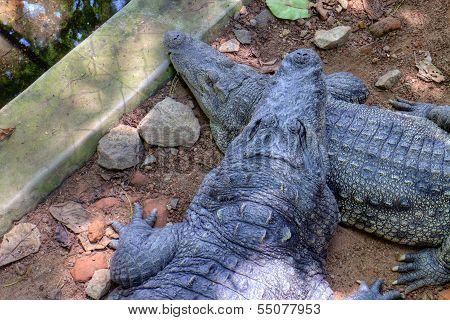 Mugger Crocodile (Crocodylus palustris) also called the Indian, Indus, Persian, marsh crocodile