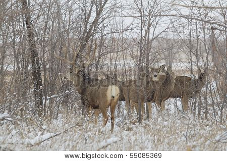 Mule Deer in Rut
