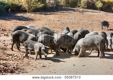 Italian Breed Of Pigs