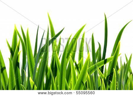 Fresh green grass on white bacground