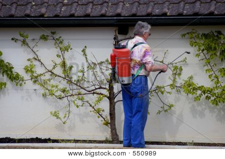 Spraying The Fruit
