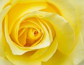 stock photo of rose close up  - The close - JPG