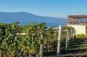 image of monk fruit  - Vineyard at Gray Monk with Okanagan Lake in the background - JPG