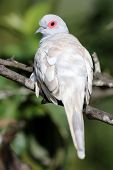 image of ring-dove  - Fawn mutation of a Diamond Dove perched in a tree