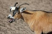 stock photo of billy goat  - Male billy goat bleating with it - JPG