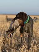 stock photo of pintail  - A duck hunting dog with a drake Mallard - JPG