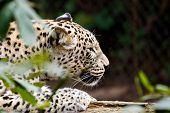 stock photo of panthera uncia  - Snow Leopard Irbis  - JPG
