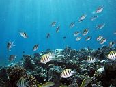 stock photo of damselfish  - A school of sergeant major damselfish over reef - JPG