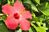 stock photo of rosa  - Rose of China Latin name Hibiscus rosa-sinensis