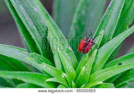 Scarlet Lily Bettles Mating On Dewy Plant Leaves