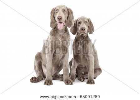 Two Weimaraner Puppies